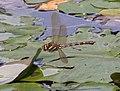 Brown Hawker Dragonfly in flight 8 (3878578910).jpg