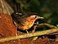 Brown capped babbler.jpg