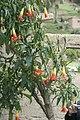 Brugmansia sanguinea (Scarlet Angel's Trumpet)1.jpg