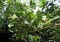 Brunfelsia lactea kz1.jpg