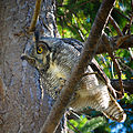 Bubo virginianus -Reifel Migratory Bird Sanctuary-8b.jpg