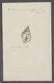 Buccinum undosum - - Print - Iconographia Zoologica - Special Collections University of Amsterdam - UBAINV0274 085 06 0010.tif