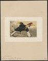Buceros cassidix - 1868 - Print - Iconographia Zoologica - Special Collections University of Amsterdam - UBA01 IZ19300075.tif