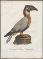 Buceros hydrocorax - 1801 - Print - Iconographia Zoologica - Special Collections University of Amsterdam - UBA01 IZ19300173.tif