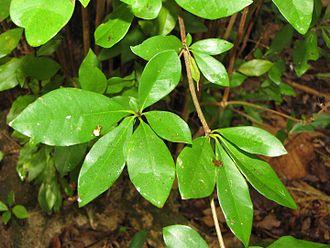 Bucida buceras - Bucida buceras leaves