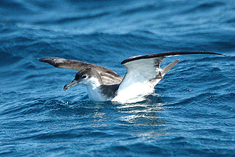 Poor Knights Islands - Large numbers of Buller's shearwaters breed on the islands