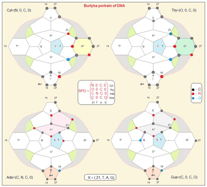 File:Burtyka portraits of amino acid on DNA.png