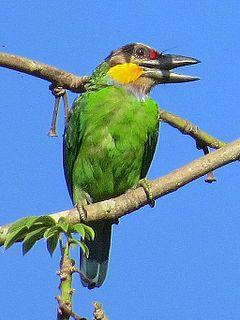 Golden-whiskered barbet species of bird