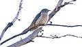 Bush Cuckoo (Cacomantis variolosus) (30994693700).jpg