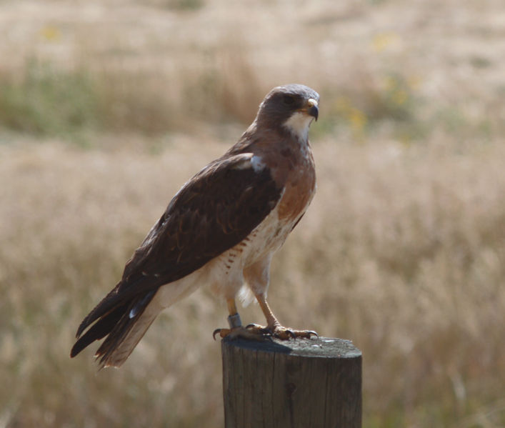 File:Buteo swainsoni edit.jpg