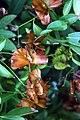 Butterfly Vine (390005819).jpg