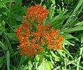 Butterfly Weed, Butterfly Milkweed (Asclepias tuberosa) - Flickr - Jay Sturner.jpg