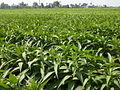 Cánh đồng thuốc lào - Nicotiana rustica field.JPG