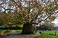 CANTERBURY, KENT WEST GATE GARDENS The 200 year old oriental plane tree.JPG