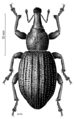 COLE Curculionidae Lyperobius montanus.png