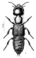 COLE Staphylinidae Cafius litoreus.png
