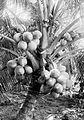 COLLECTIE TROPENMUSEUM Een kokospalm met vruchten (kelapa radja) op Ceram TMnr 10012455.jpg