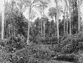 COLLECTIE TROPENMUSEUM Tabak wordt met ossenkarren door het oerwoud vervoerd. TMnr 60001605.jpg