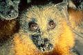 CSIRO ScienceImage 1762 Fruit bats flying foxes.jpg