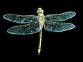CSIRO ScienceImage 2371 An Adult Dragonfly.jpg