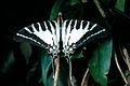 CSIRO ScienceImage 995 Graphium aristeus Papilionidae.jpg