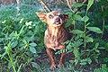 Cachorro pinsher 2.jpg