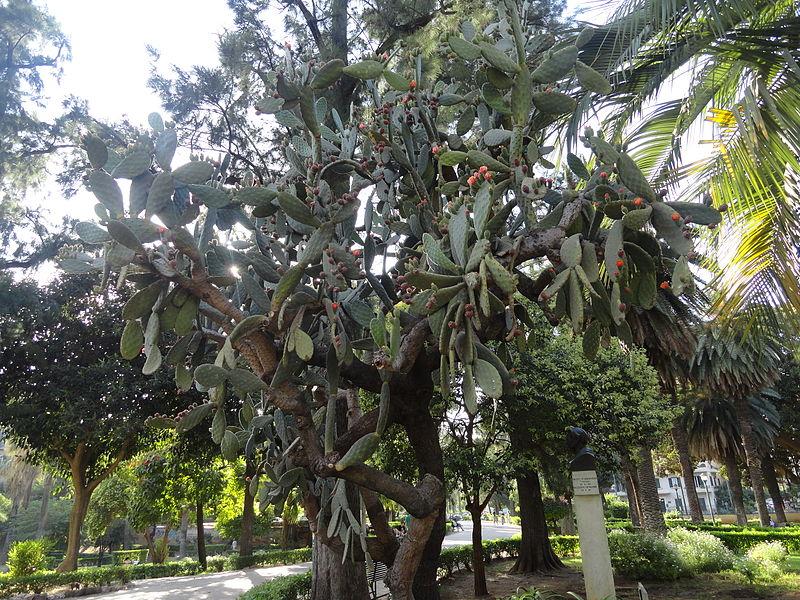 File cactus in giardino inglese palermo sicily italy - Giardino in inglese ...