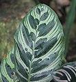 Calathea ornata, Victoria Esplanade Park (3).jpg