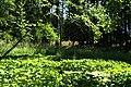 Calla palustris in natural monument Stribrna Hut in summer 2011 (11).JPG