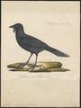 Callaeas cinerea - 1825-1834 - Print - Iconographia Zoologica - Special Collections University of Amsterdam - UBA01 IZ15700081.tif
