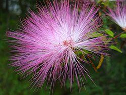 Calliandra emarginata park Ceret sao paulo Brazil (2796781885).jpg
