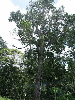 Calophyllum caledonicum