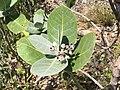 Calotropis procera Magadi2.jpg