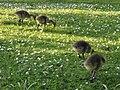 Canada goose young 4.jpg