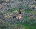 Canadian Goose Near Newport Wetlands RSPB Reserve Lighthouse.PNG