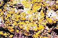 Candelaria concolor-2.jpg
