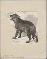Canis antarcticus - 1868 - Print - Iconographia Zoologica - Special Collections University of Amsterdam - UBA01 IZ22200395.tif