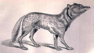 """Japanese wolf - Illustration from 1881 labelled """"Canis hodophylax or Japanese wolf"""", also likely to be a yamainu (mountain dog) rather than the Japanese wolf"""