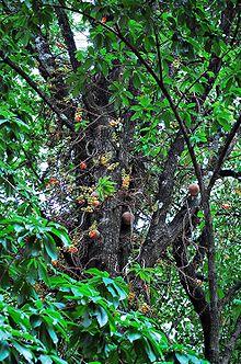 couroupita guianensis   wikipedia