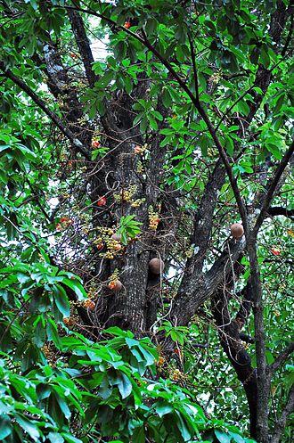 Couroupita guianensis - Image: Canon Ball treebark