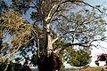 Capernaum, tree (501593870).jpg