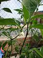 Capsicum frutescens (6).JPG