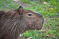 Capybara, Esteros del Ibera, Corrientes, Argentina, Jan. 2011 - Flickr - PhillipC.jpg