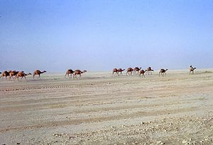 Registan Desert - Caravan in the Registan desert (Afghanistan) in August 1969
