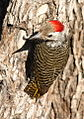 Cardinal Woodpecker - MALE, Dendropicos fuscescens at Pilanesberg National Park, Northwest Province, South Africa (14905323910).jpg