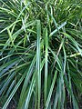 Carex pendula plant (17).jpg