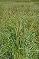 Carex rostrata iërba dl lech da Rijeda Mastlé.jpg