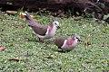 Caribbean Dove (Leptotila jamaicensis) (8082132525).jpg