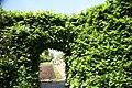 Carpinus betulus 36zz.jpg