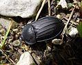 Carrion Beetle . Silphidae (15660406223).jpg